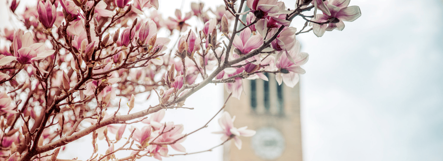 Spring cherry blossoms in front of McGraw Tower